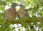 Pigeons ramiers (3)