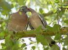Pigeons ramiers (5)