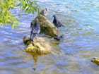 Pigeons sur l'eau