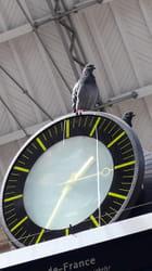 Pigeons voyageurs ?