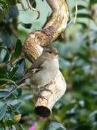 Pinson des arbres femelle