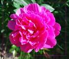 Pivoine rose bonbon