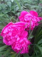 Pivoines sous la pluie