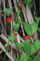plante grimpante aux fleurs rouges