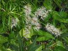 Pléomèles en fleurs