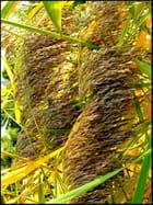 Plumeaux de roseaux