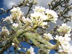 Fleurs de poirier sous le ciel normand