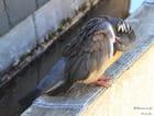 Politique de l'autruche chez le pigeon