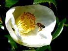 Pollen très convoité