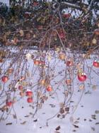 Pommes d'hiver