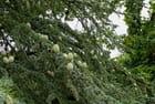 Pommes de pin sur le cèdre de l'Atlas