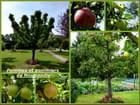 Pommes et pommiers en Normandie dans la Seine-Maritime