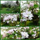Pommier de Normandie au printemps