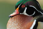 Portrait de canard