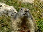 Portrait de marmotte