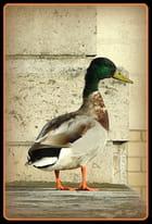 portrait du canard à Bercy