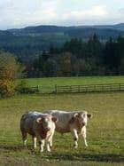Pose pour la postérité bovine