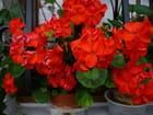 Potées de géraniums rouges