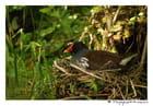 Poule d'eau au nid