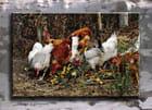Poules et poulets à l'ancienne.