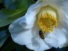 Précieux pollen