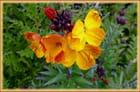 Première giroflée-ravenelle en fleur pour 2015