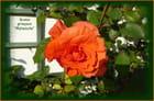 Première rose de l'année 2017 dans mon jardin