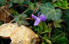 Première violette