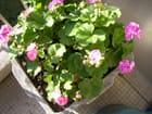 Premières fleurs de géranium au milieu de l'hiver