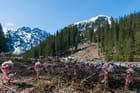 Premières fleurs de montagne