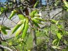 Premières petites feuilles du printemps