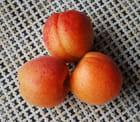 Premiers abricots lorrains