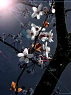 Prunus en fleurs...