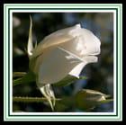 Pureté florale !!!...