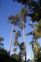 Qu'ils sont hauts ces pins!
