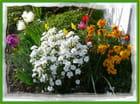Quelques couleurs printanières dans le jardin