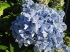 quelques hortensias de la fin de l'été