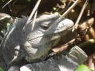 Quiétude de l'iguane