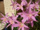 Rain lillies