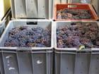 Raisins Pinot-Meunier