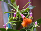 Rare Epidendrum