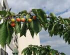 Récolte de cerises Albertivillariennes
