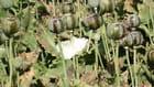 récolte de l'opium
