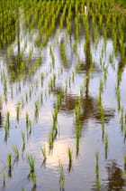 Reflets dans la rizière