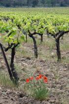 Renaissance de la vigne