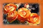 Renoncules orange