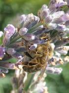 Repas d\'abeille