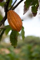 la feve de cacao