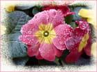 Réveil frisquet pour les fleurs-1