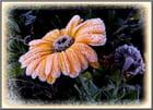 Réveil givré pour les fleurs ce matin - 1   (7/11/2017)